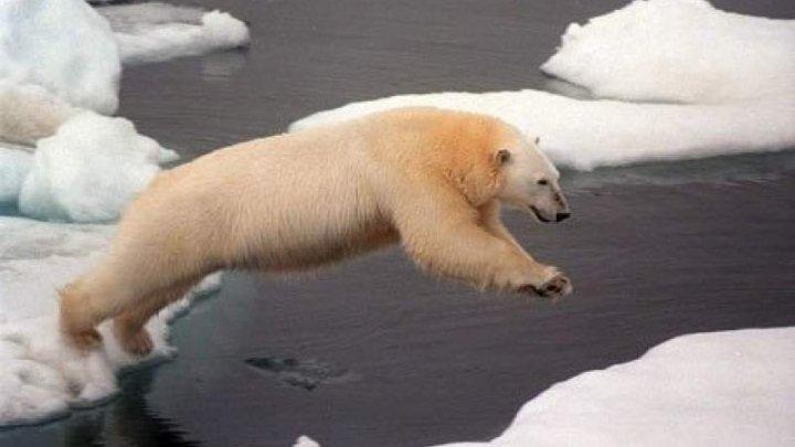 Primul urs polar născut la tropice ar putea fi eutanasiat