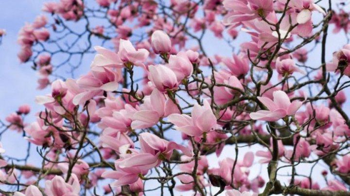 Cum se înmulţeşte magnolia. Trucuri pentru o grădină de vis