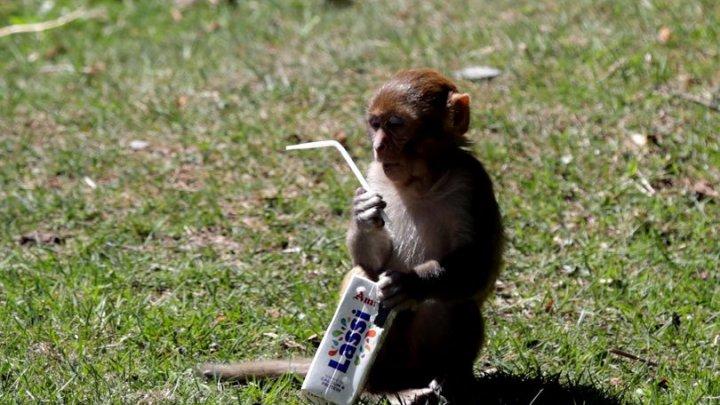 ŞOCANT! Bebelușul furat de o maimuță de lângă mama sa, găsit mort