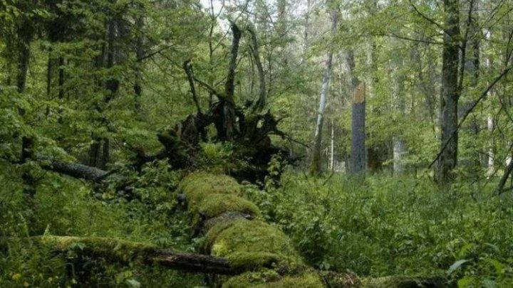 Polonia a încălcat legislaţia UE dispunând tăieri în Pădurea milenară Bialowieza