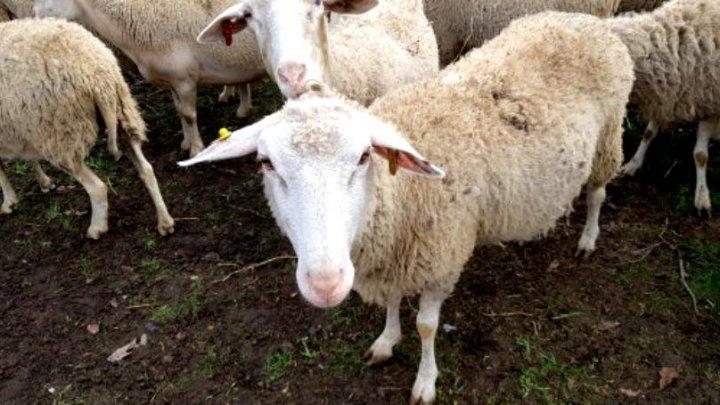 Studiu: Expunerea la oi ar putea duce la apariția sclerozei multiple