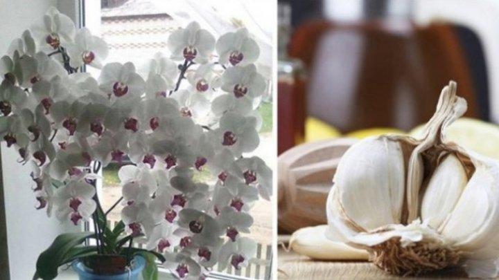 Usturoiul, un elixir pentru orhidee. Într-o lună vei avea o mulţime de flori frumoase