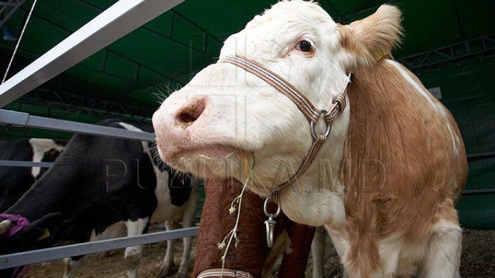 Ceartă și neînțelegeri. O familie din satul Feștelița, le-a cerut oamenilor să nu-şi mai ducă vacile spre pajiște pe drumul de lângă casa lor