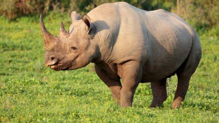 Specie ameninţată cu dispariţia. Kenya a demarat un proiect de monitorizare a populaţiei sale de rinoceri