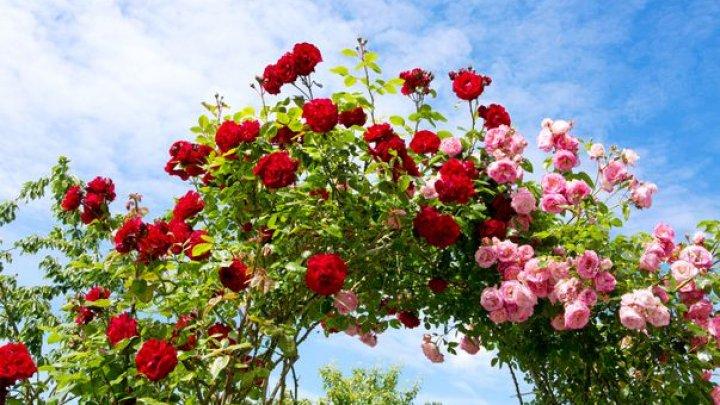 Vei avea cea mai frumoasă şi mirositoare grădină. Cum se taie corect trandafirii urcători