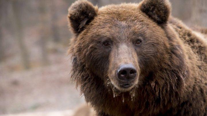 EMOŢIONANT: O ursoaică a ajuns în libertate după 20 de ani (VIDEO)