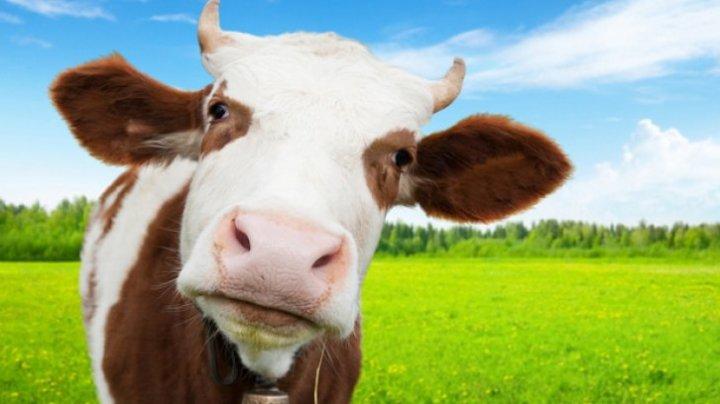 Studiu: Vaca ar putea deveni cel mai mare mamifer terestru