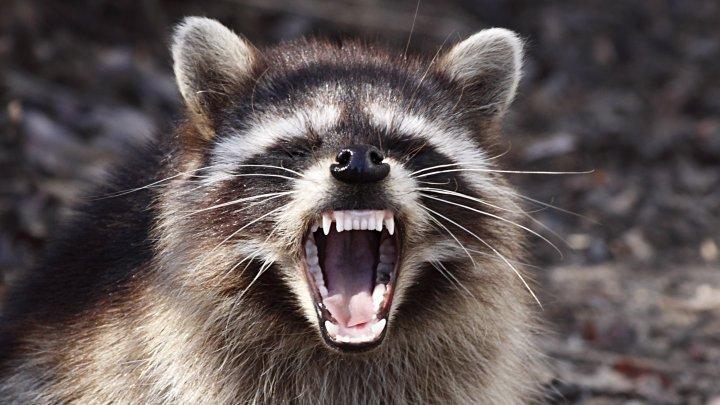 """Ratonii """"zombie"""" au invadat statul american Ohio. Animalele au speriat oamenii din zonă (FOTO/VIDEO)"""