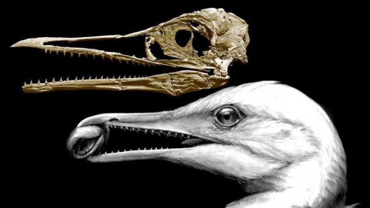 STUDIU: Primele păsări de pe Terra aveau ciocuri înzestrate cu dinţi