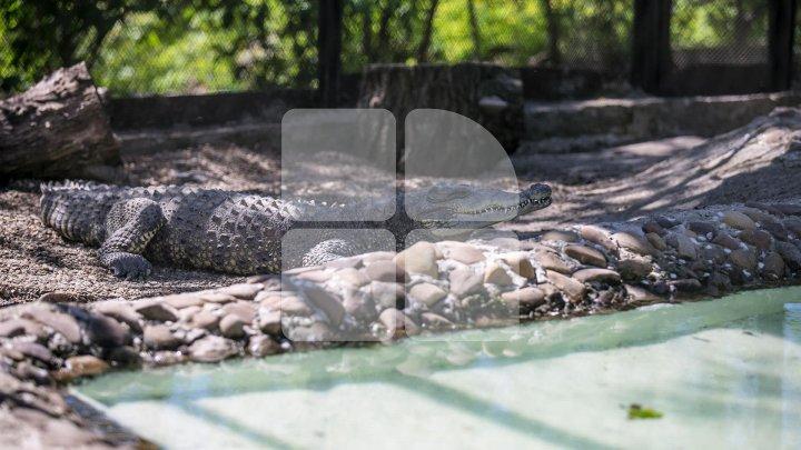 Povestea uluitoare a crocodilului Ghena de la Grădina Zoologică (FOTO/VIDEO)