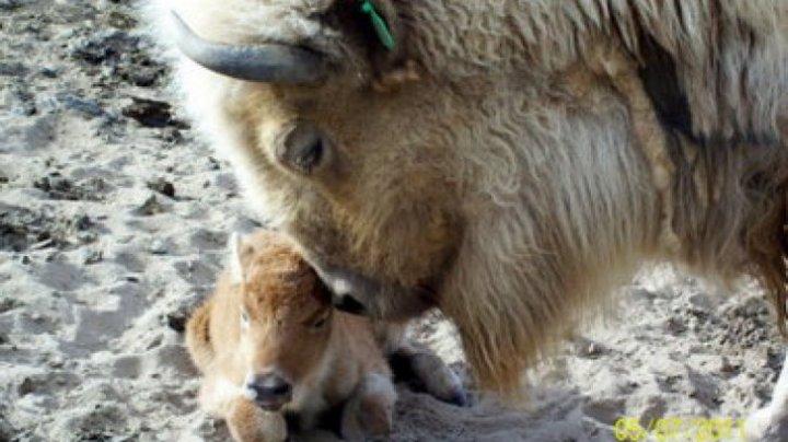 CAZ RAR! O femelă de bizon alb s-a născut la grădina zoologică din Belgrad