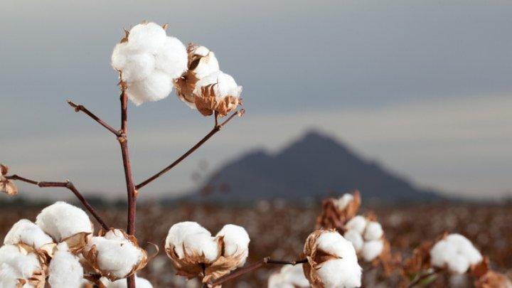 Fermierii din statele Kansas şi Oklahoma au renunţat la grâu în favoarea bumbacului. Care este motivul