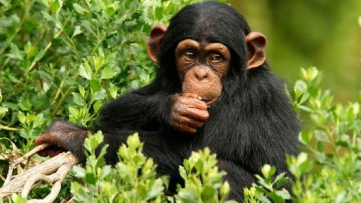 Culcuşurile cimpanzeilor sunt mai curate decât cele ale oamenilor
