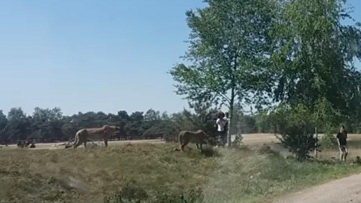 Imagini incredibile într-un parc de safari din Olanda. O familie de turişti francezi, prada mai multor gheparzi (VIDEO)