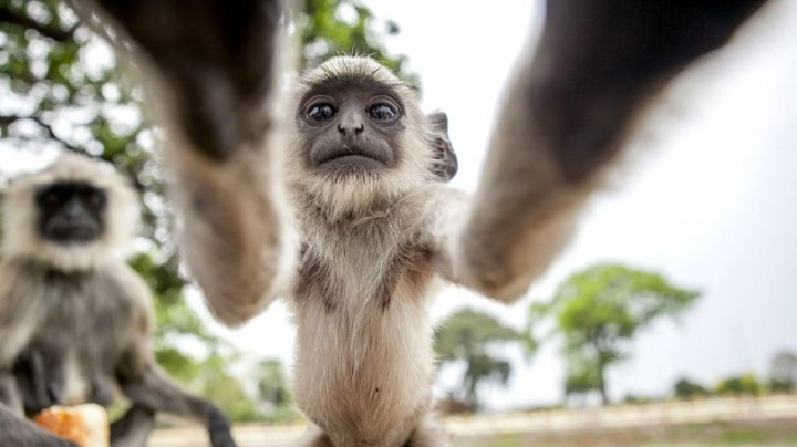 Un pui de maimuță și-a făcut un selfie în sălbăticie. Unde a găsit aparatul de fotografiat (FOTO)