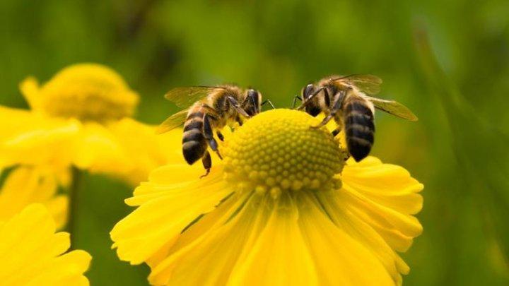 Studiu: Albinele pot deosebi florile cu ajutorul tiparelor de mirosuri pe care le memorează