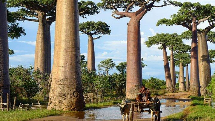 STUDIU: Cei mai bătrâni baobabi din Africa mor din cauza schimbărilor climatice