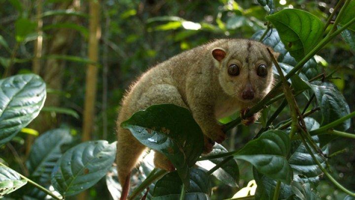 Premieră mondială! S-a născut primul marsupial cuscus indonezian în captivitate la o grădină zoologică din Polonia