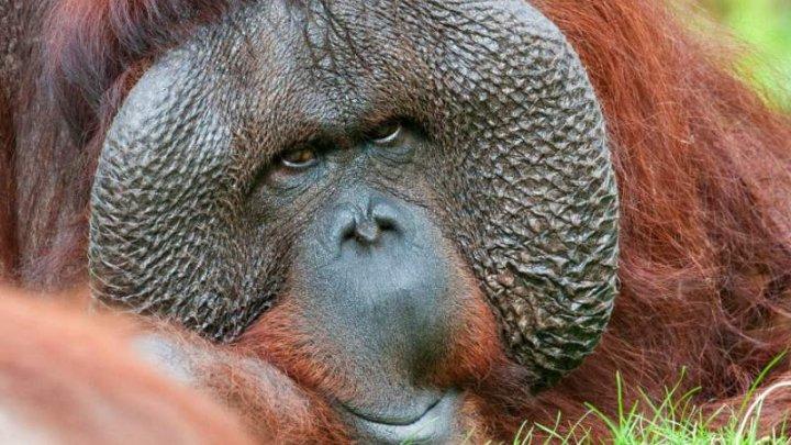Cel mai vârstnic urangutan de Sumatra din lume murit într-o grădină zoologică australiană