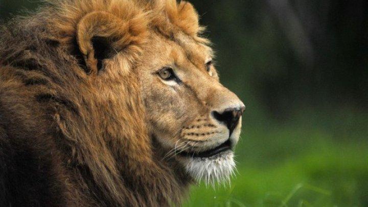 Alertă în Germania: Doi lei, doi tigri și un jaguar au scăpat de la o grădină zoologică. Oamenii, îndemnaţi să nu iasă din case