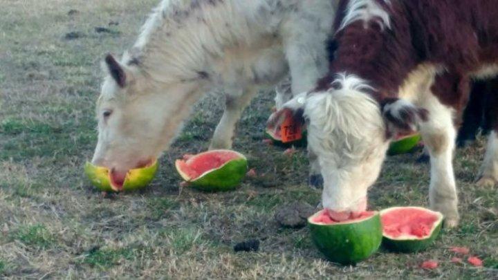 Fermierii din Australia sunt nevoiți să-și hrănească vacile cu pepene verde. Care este cauza