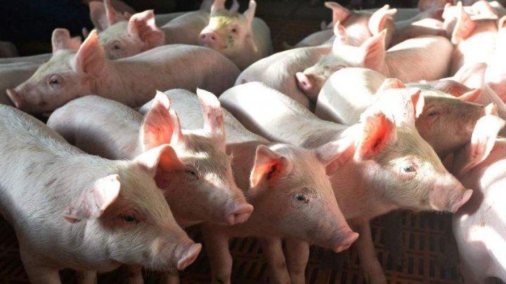 Peste 44.500 de porci din exploataţia unde a fost confirmat virusul Pestei Porcine Africane vor fi SACRIFICAŢI
