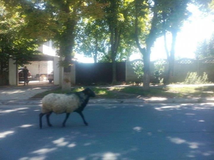 """Altfel de """"pietoni"""" în Capitală. Ce au văzut şoferii care au circulat pe strada Belinski (FOTO)"""