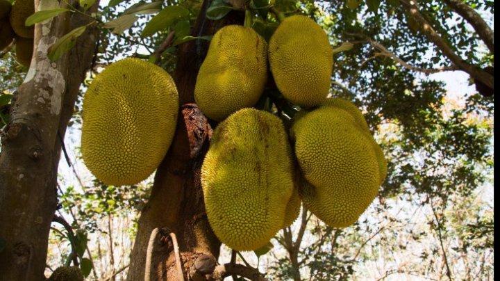 Fructul uriaș care înlocuiește carnea. Cât de benefic este consumul acestuia