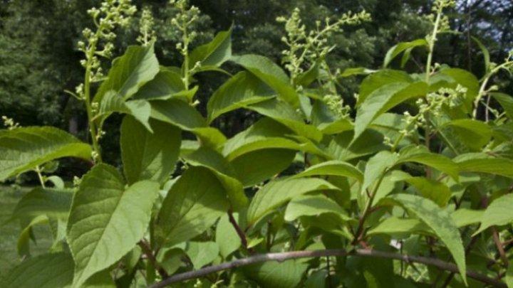 Secretul chinezilor: planta care tratează cancerul în 40 de zile