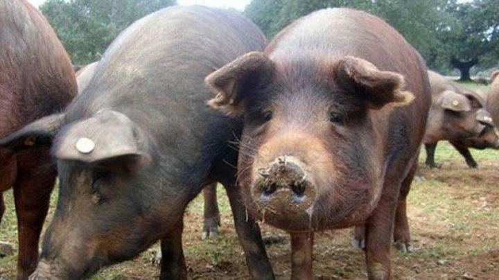 China a interzis importul de porci din Republica Moldova din cauza pestei porcine