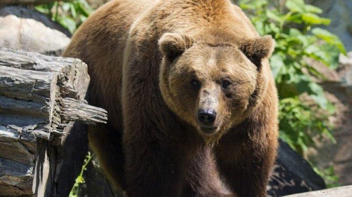 Mai mulţi urşi au răscolit morminte dintr-un cimitir din Kamchatka. Care este cauza