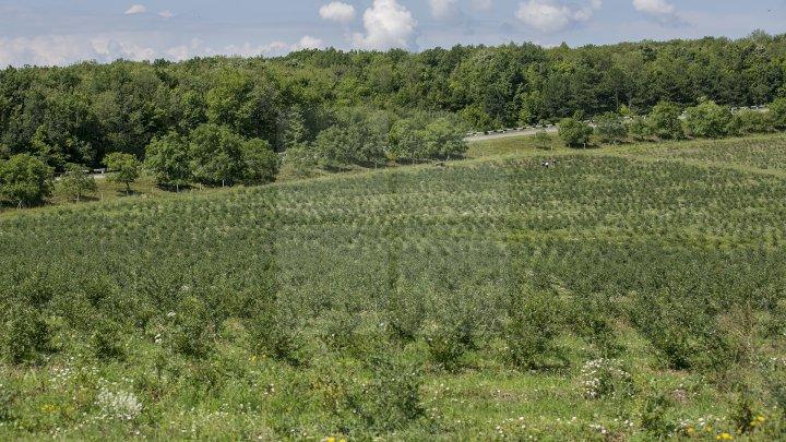Îţi lasă gura apă. Un fermier din raionul Străşeni, care deţine o plantaţie dulce, a scos în vânzare afine (FOTOREPORT)