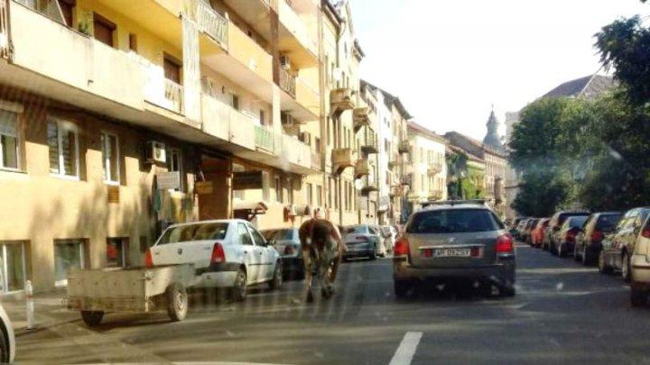 O vacă a evadat din ograda stăpânilor, iar oamenii au găsit-o pe Facebook (FOTO)