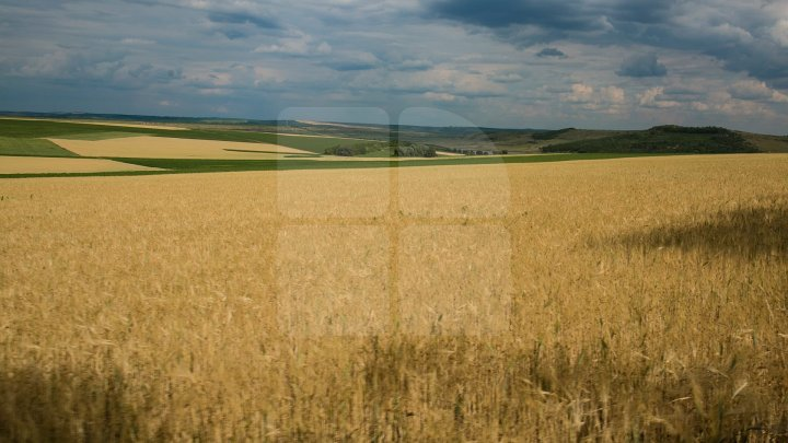 STUDIU: Estimările privind producţia de grâu a UE, la cel mai redus nivel din ultimii şase ani
