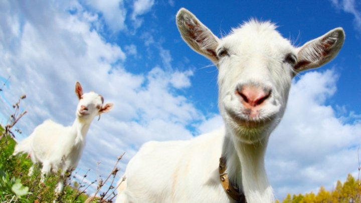 După porci, sunt în pericol caprele și oile. Cum se manifestă pesta micilor rumegătoare