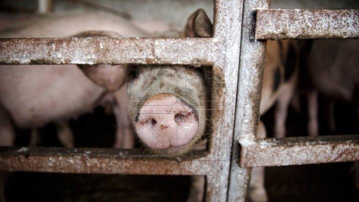NO COMMENT: Un asistent veterinar a operat mai mulţi porci pentru a-i scăpa de pesta porcină