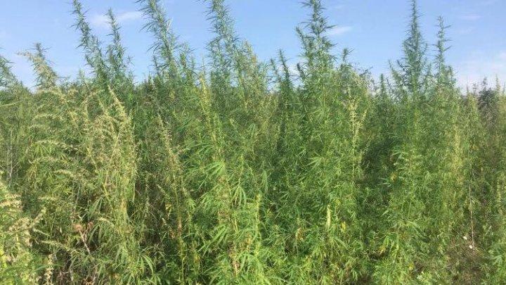 Riscă dosar penal pentru 300 de fire de cânepă cultivate pe un lot agricol din oraşul Codru