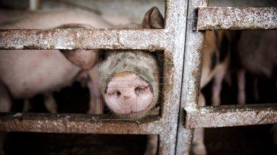 Focar de pestă porcină, confirmat în raionul Cahul. Hala cu carne de la piaţa din oraş, închisă