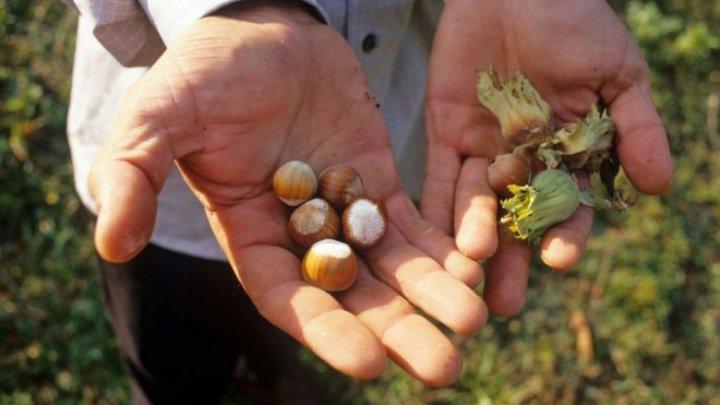 Plantațiile de aluni, populare în Moldova. Secretele unei afaceri de succes dezvăluite de un agricultor din Telenești