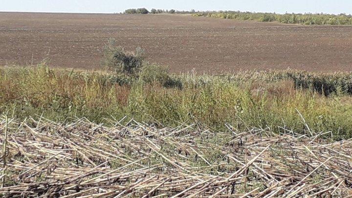 Lan cu cânepă, descoperit în zona satului Volintiri. Ce a declarat proprietarul terenului