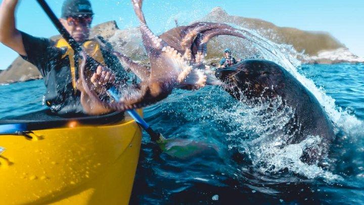 Moment inedit: O focă aruncă cu o caracatiță într-un bărbat (VIDEO)