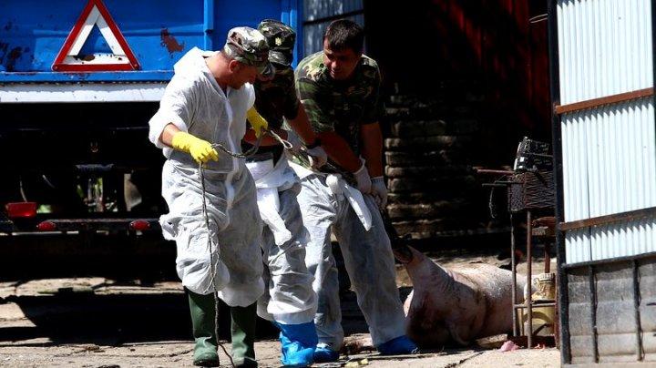 Pesta porcină, la bilanț, România. Au fost uciși peste 160.000 de porci