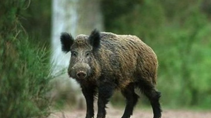 Focar de pesta porcină în Pădurea Domnească: 35 de mistreţi au fost găsiţi morţi