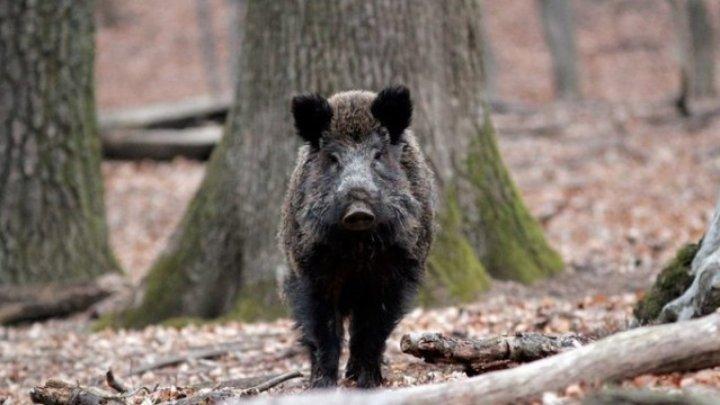 Măsuri pentru răspândirea pestei porcine: Permisiuni mai mari la vânătoarea de mistreţi şi recompense de 1000 DE LEI pentru fiecare cadavru de mistreţ găsit