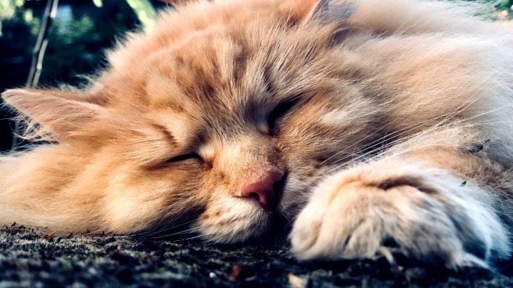 O pisică vedetă pe Instagram care fusese răpită din grădina casei sale a fost găsită (FOTO)