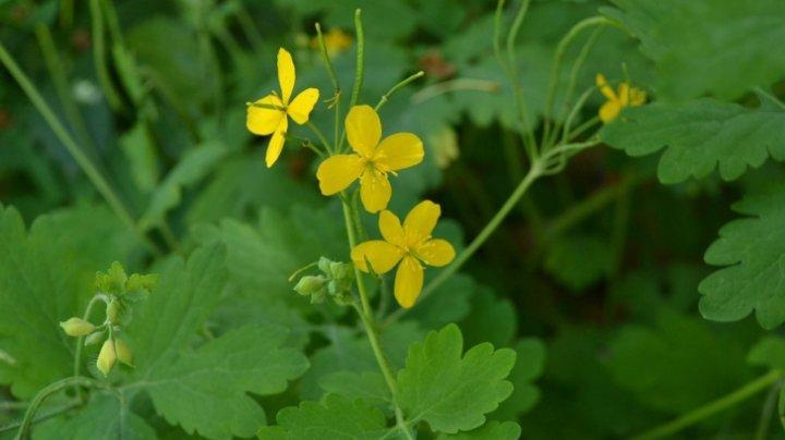Bine de știut! Planta miraculoasă, care tratează chiar şi cancerul, dar și peste 150 de boli