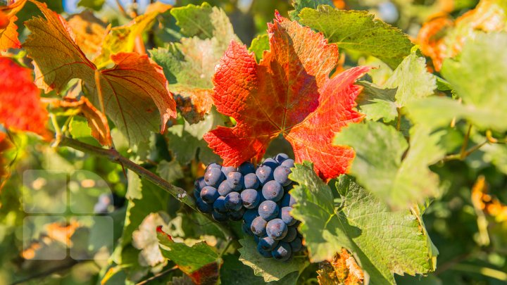 Licoarea lui Bachus, produsă de studenții de la UTM. Tinerii vor învăţa cum se face un vin bun şi de calitate (FOTOREPORT)