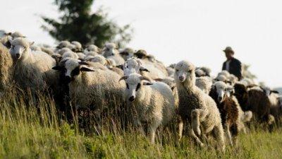 Un agricultor din Dondușeni a suferit pagube de zeci de mii de lei, după ce o turmă de capre şi oi i-a invadat livada