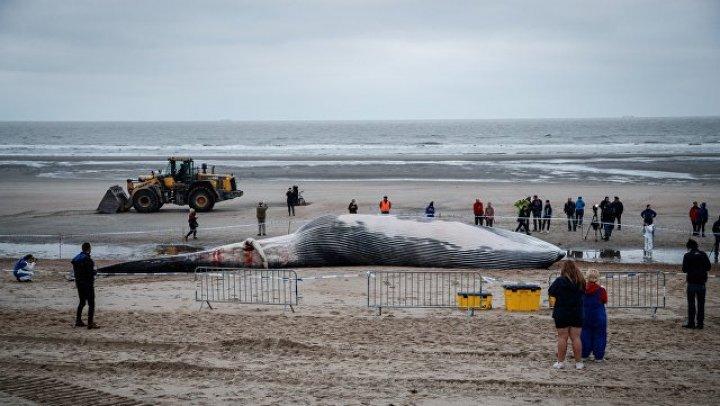 O balenă a eşuat pe plaja Den Haan din Belgia