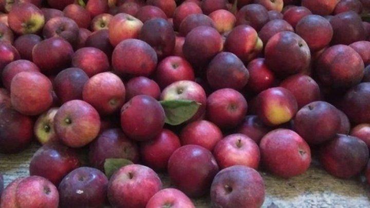 2 tone de mere gratis: O profesoară din Ungheni dăruieşte roada pomilor celor care vor veni să o culeagă